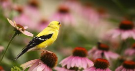 American+Goldfinch+-+flickr+Rosanna+Mignacca_mid