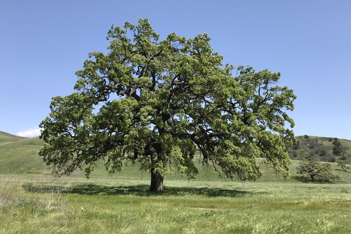 Picture of a valley oak tree.