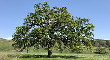 A photo of a valley oak tree.