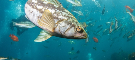 A school of kelp bass. A new database created by scientists from UCLA and other institutions covers about 70% of all animals that live in the California Current, off of the west coast of North America.